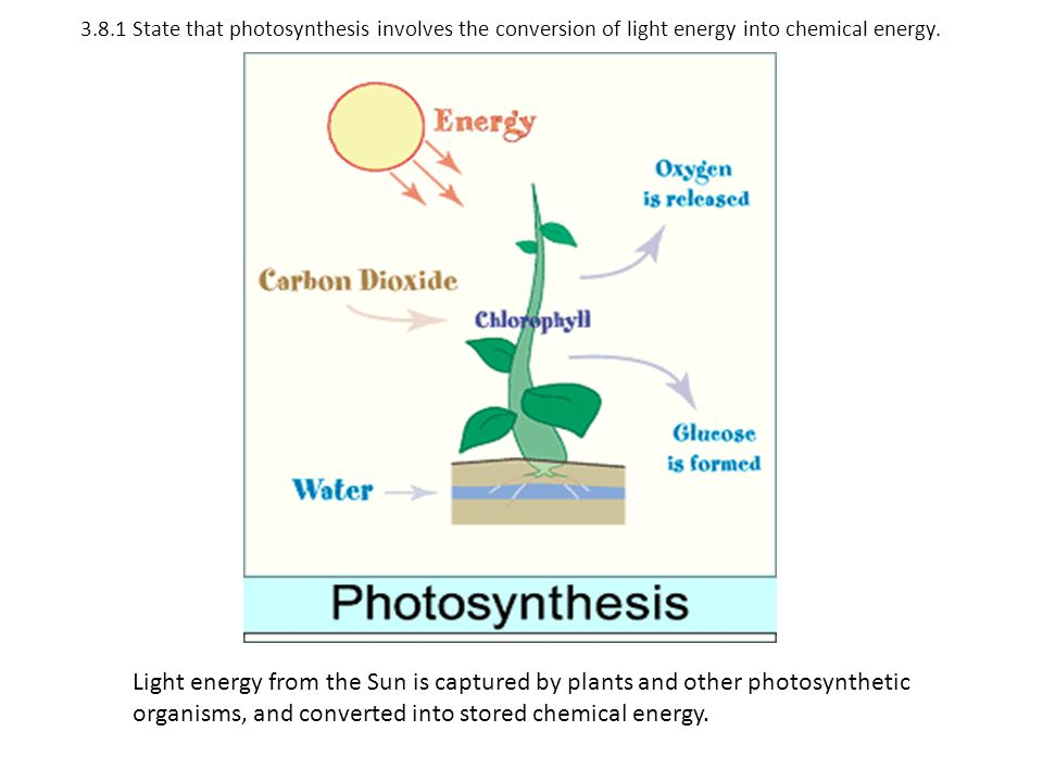 3.8.1 State that photosynthesis involves the conversion of light energy into chemical energy. Light energy from the Sun is captured by plants and othe