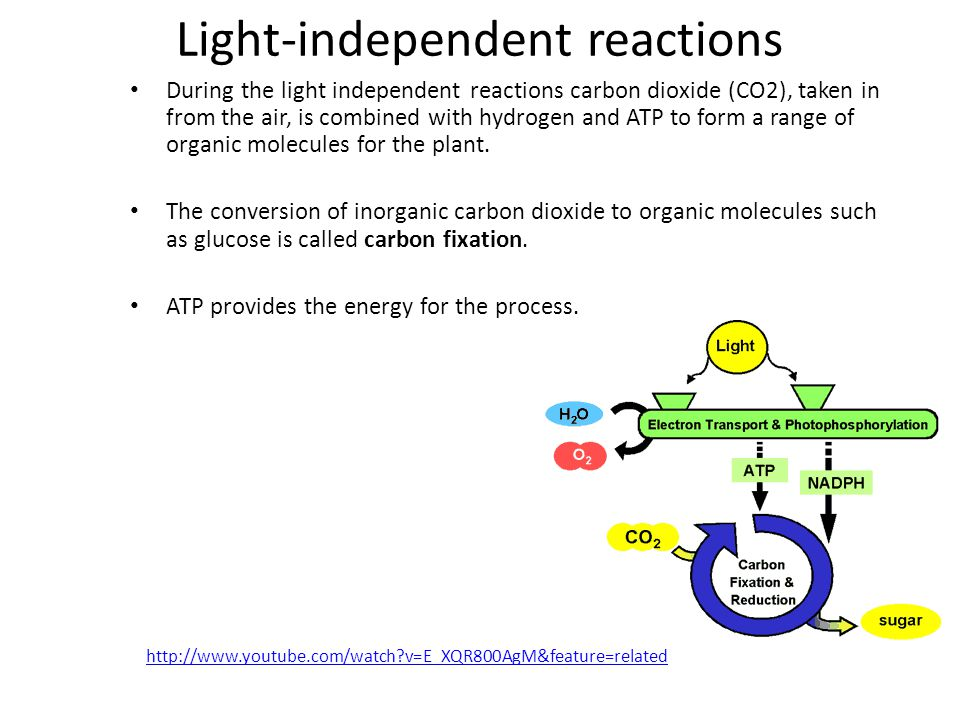 Light-independent reactions During the light independent reactions carbon dioxide (CO2), taken in from the air, is combined with hydrogen and ATP to f