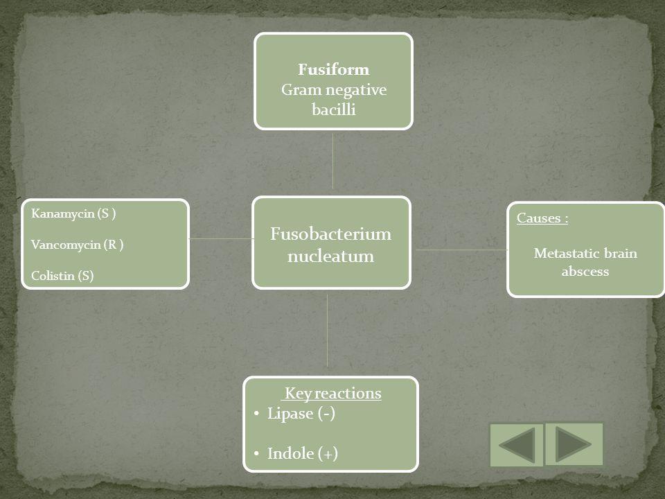 Fusobacterium nucleatum Key reactions Lipase (-) Indole (+) Causes : Metastatic brain abscess Fusiform Gram negative bacilli Kanamycin (S ) Vancomycin (R ) Colistin (S)