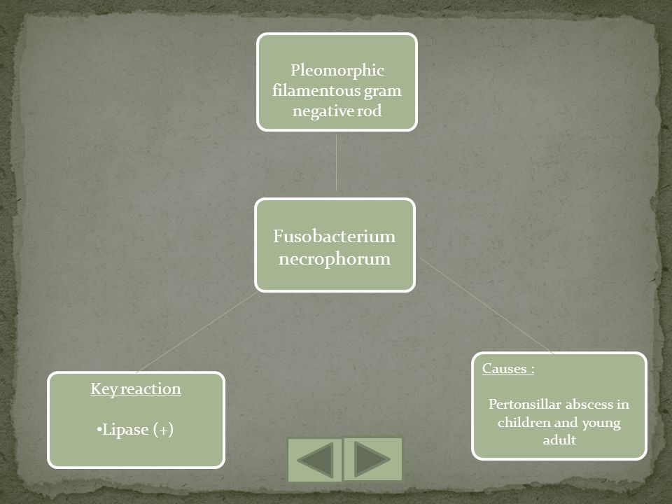Fusobacterium necrophorum Key reaction Lipase (+) Causes : Pertonsillar abscess in children and young adult Pleomorphic filamentous gram negative rod