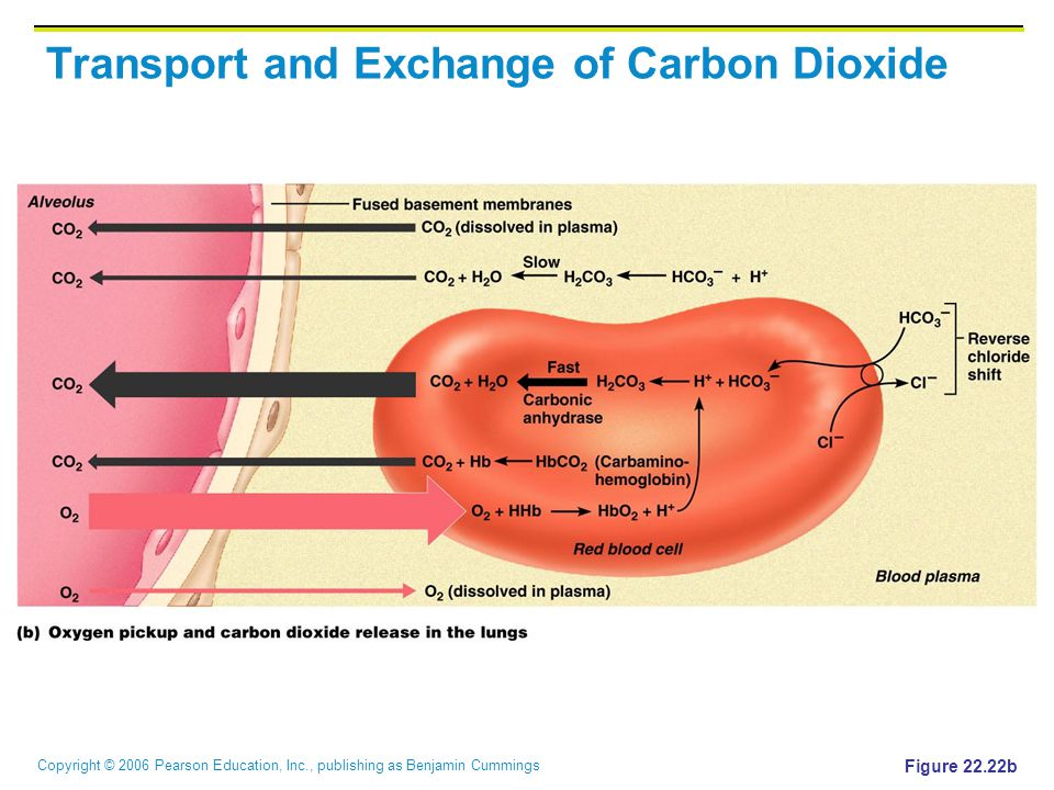 Copyright © 2006 Pearson Education, Inc., publishing as Benjamin Cummings Transport and Exchange of Carbon Dioxide Figure 22.22b