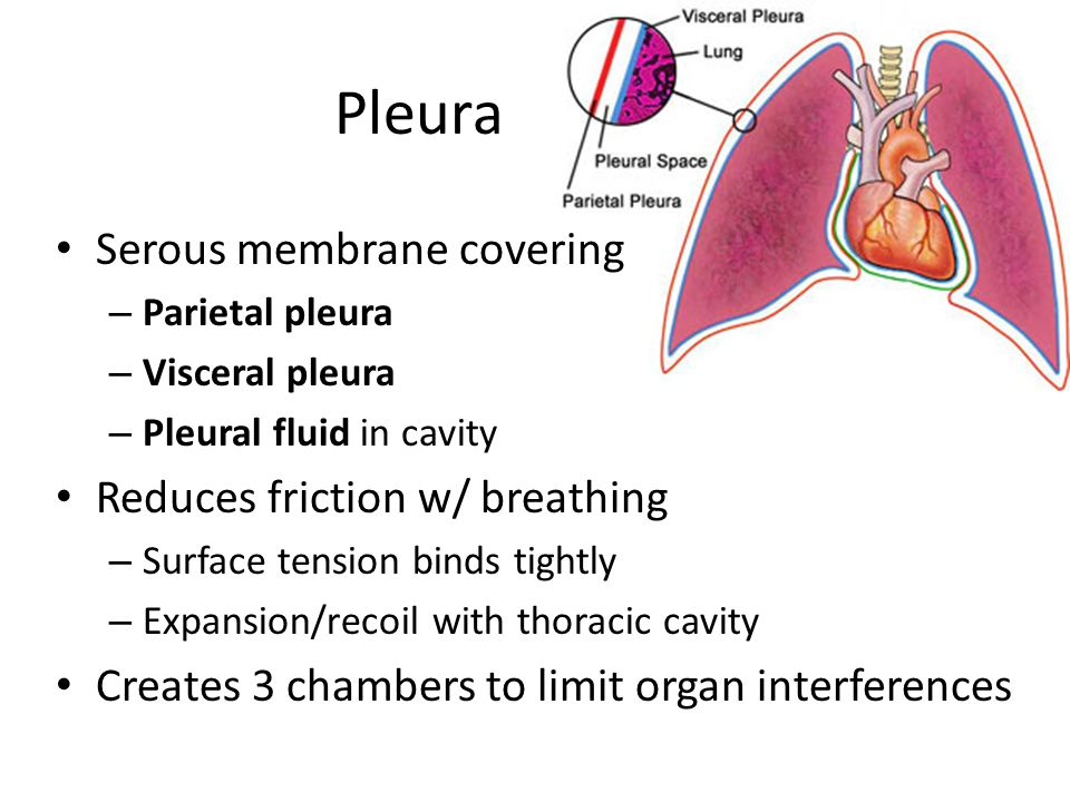 Pleura Serous membrane covering – Parietal pleura – Visceral pleura – Pleural fluid in cavity Reduces friction w/ breathing – Surface tension binds ti
