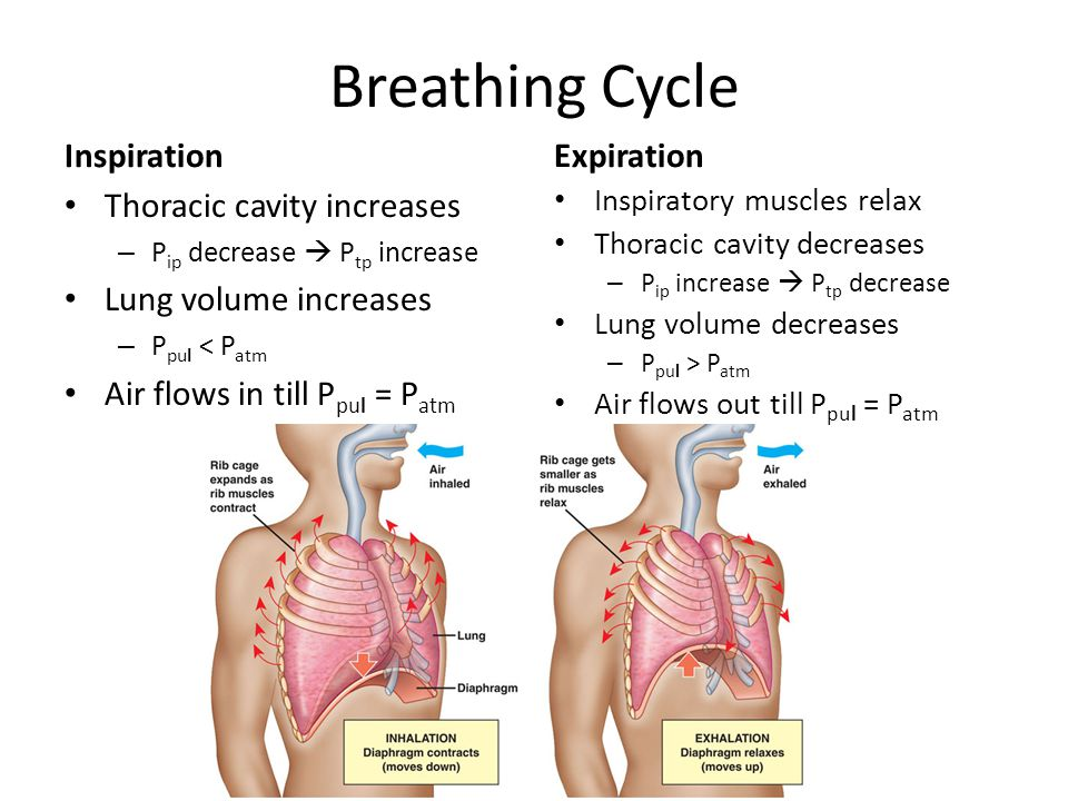 Breathing Cycle InspirationExpiration Thoracic cavity increases – P ip decrease  P tp increase Lung volume increases – P pul < P atm Air flows in til