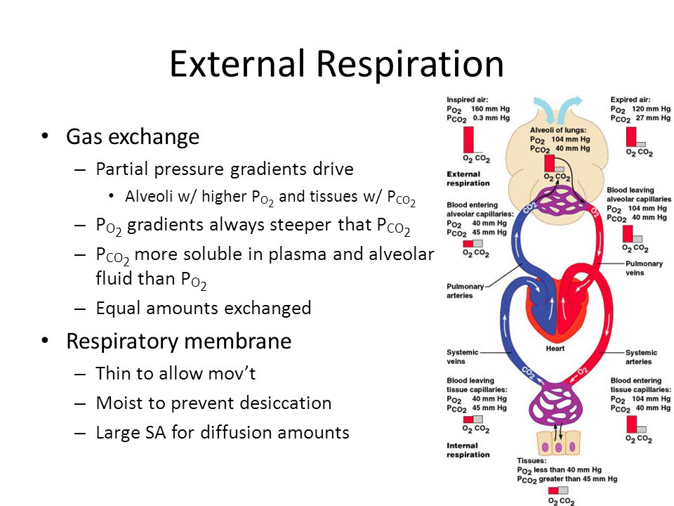 External Respiration Gas exchange – Partial pressure gradients drive Alveoli w/ higher P O 2 and tissues w/ P CO 2 – P O 2 gradients always steeper th