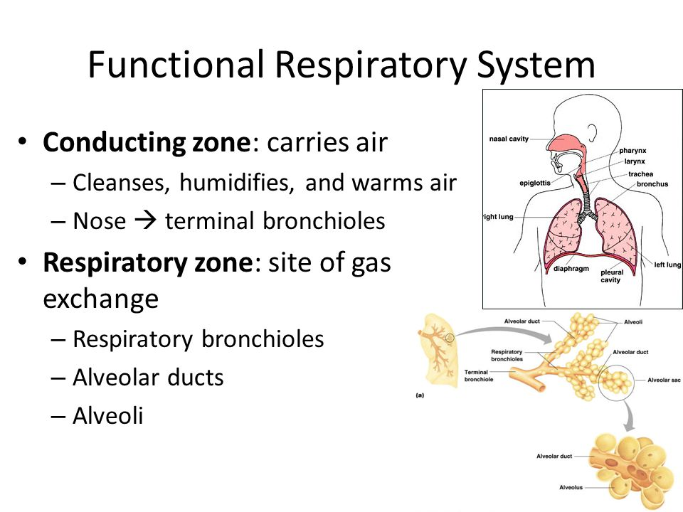 Functional Respiratory System Conducting zone: carries air – Cleanses, humidifies, and warms air – Nose  terminal bronchioles Respiratory zone: site