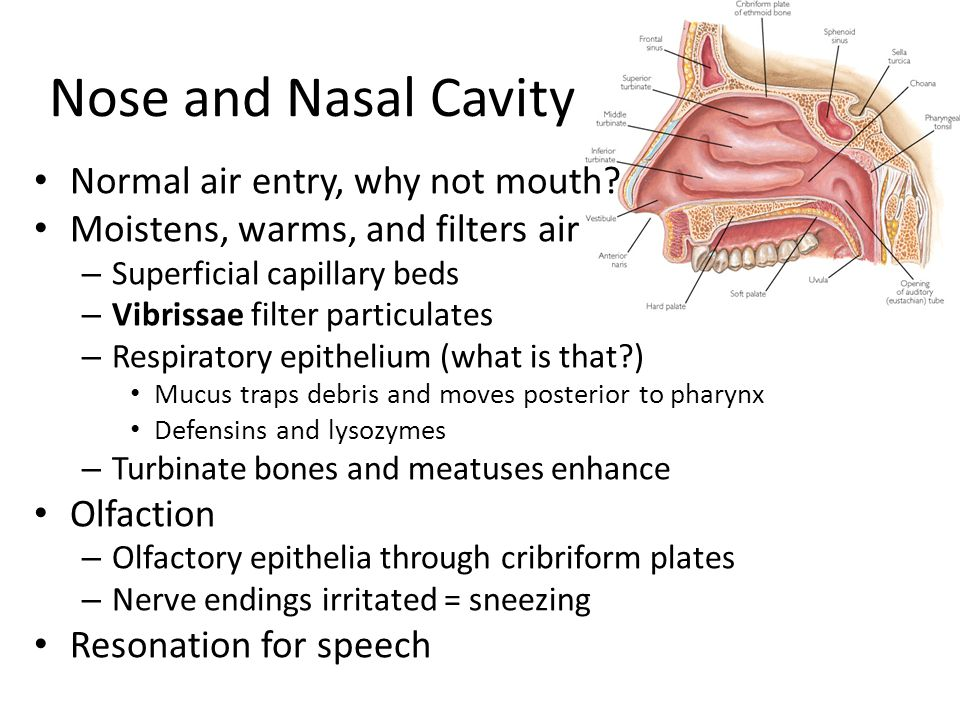 Nose and Nasal Cavity Normal air entry, why not mouth? Moistens, warms, and filters air – Superficial capillary beds – Vibrissae filter particulates –