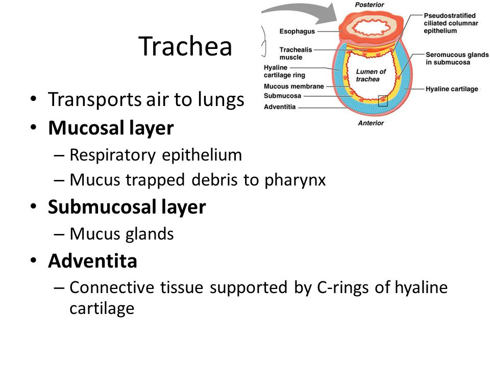Trachea Transports air to lungs Mucosal layer – Respiratory epithelium – Mucus trapped debris to pharynx Submucosal layer – Mucus glands Adventita – C
