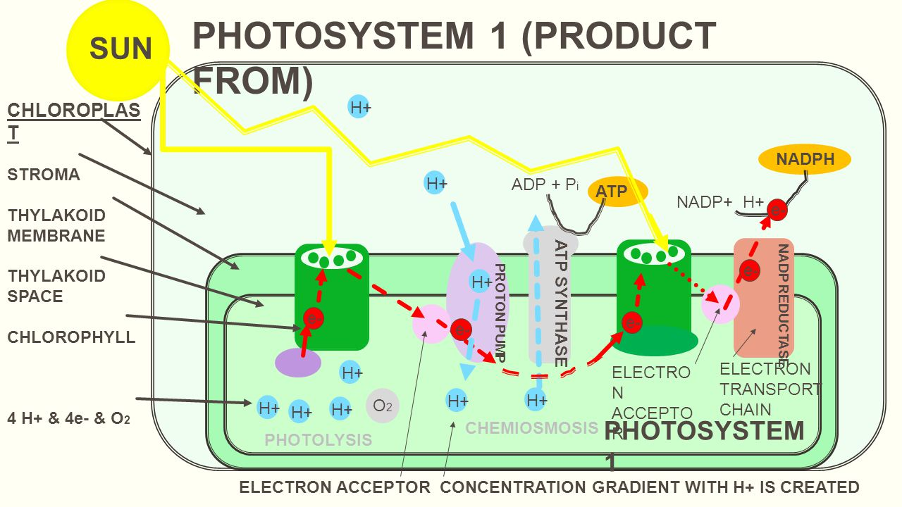 e- CHLOROPLAS T STROMA THYLAKOID MEMBRANE THYLAKOID SPACE CHLOROPHYLL 4 H+ & 4e- & O 2 SUN PHOTOLYSIS e- ELECTRON ACCEPTOR CONCENTRATION GRADIENT WITH H+ IS CREATED PHOTOSYSTEM 1 (PRODUCT FROM) H+ e- H+ O2O2 ATP SYNTHASE PROTON PUMP ADP + P i ATP H+ CHEMIOSMOSIS e- PHOTOSYSTEM 1 NADP REDUCTASE ELECTRO N ACCEPTO R ELECTRON TRANSPORT CHAIN e- NADP+ H+ NADPH e-