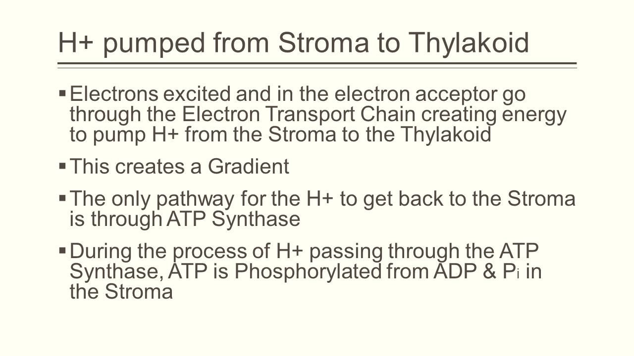 H+ pumped from Stroma to Thylakoid  Electrons excited and in the electron acceptor go through the Electron Transport Chain creating energy to pump H+ from the Stroma to the Thylakoid  This creates a Gradient  The only pathway for the H+ to get back to the Stroma is through ATP Synthase  During the process of H+ passing through the ATP Synthase, ATP is Phosphorylated from ADP & P i in the Stroma