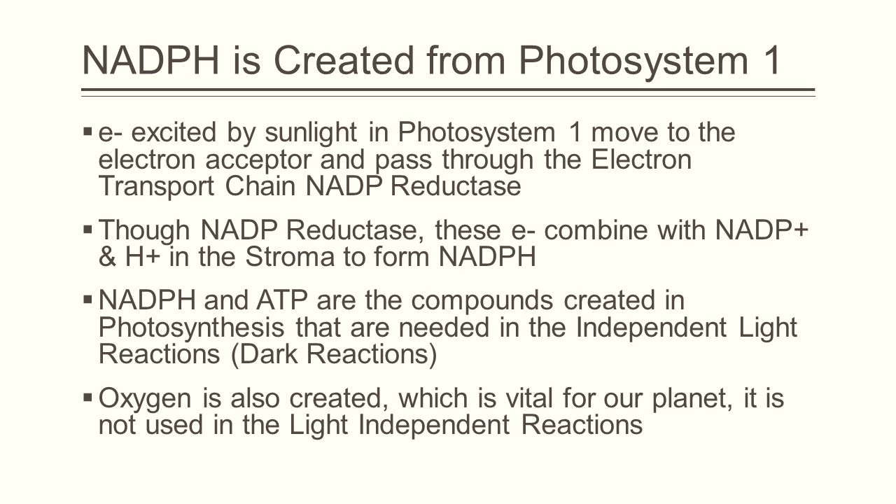 NADPH is Created from Photosystem 1  e- excited by sunlight in Photosystem 1 move to the electron acceptor and pass through the Electron Transport Chain NADP Reductase  Though NADP Reductase, these e- combine with NADP+ & H+ in the Stroma to form NADPH  NADPH and ATP are the compounds created in Photosynthesis that are needed in the Independent Light Reactions (Dark Reactions)  Oxygen is also created, which is vital for our planet, it is not used in the Light Independent Reactions