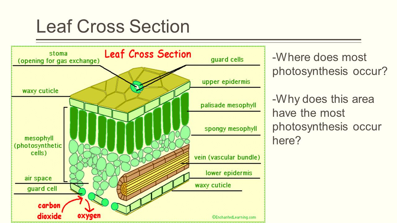 Leaf Cross Section -Where does most photosynthesis occur.