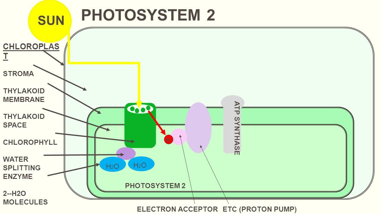 e- CHLOROPLAS T STROMA THYLAKOID MEMBRANE THYLAKOID SPACE CHLOROPHYLL WATER SPLITTING ENZYME 2--H2O MOLECULES SUN H2OH2O PHOTOSYSTEM 2 e- ELECTRON ACC