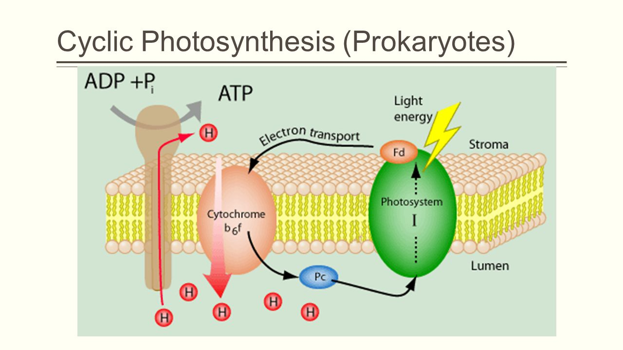 Cyclic Photosynthesis (Prokaryotes)