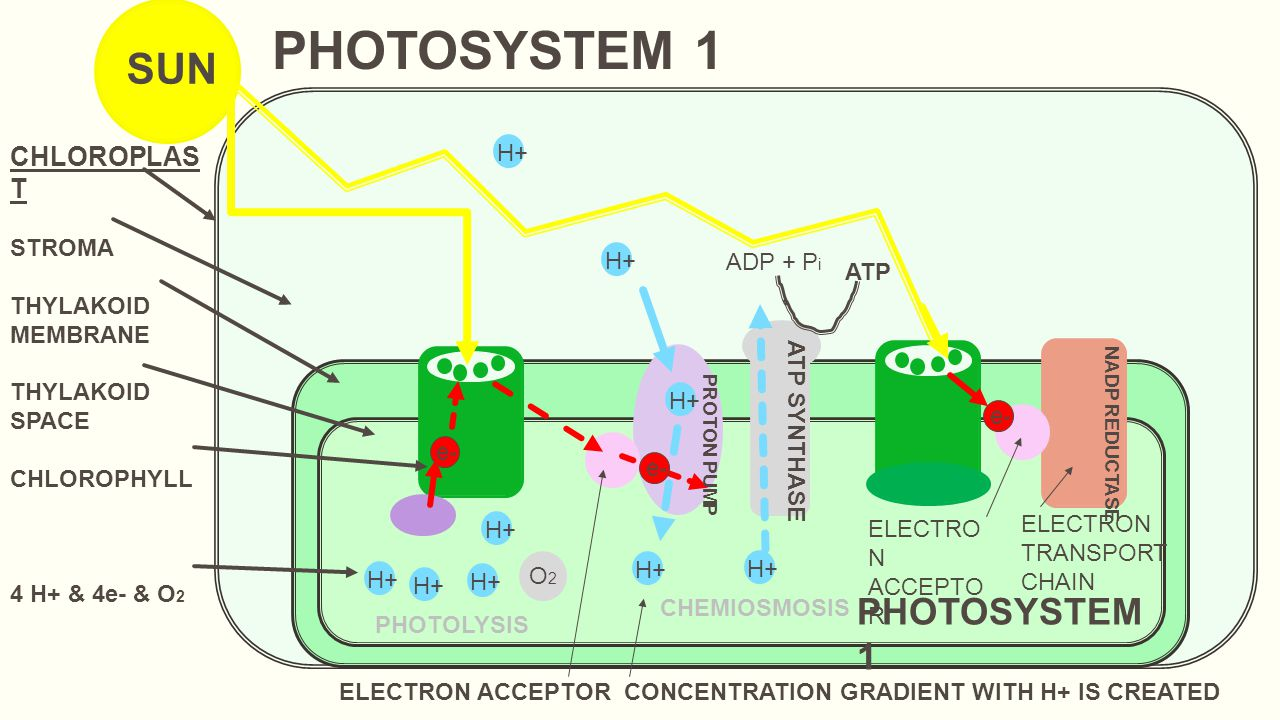 e- CHLOROPLAS T STROMA THYLAKOID MEMBRANE THYLAKOID SPACE CHLOROPHYLL 4 H+ & 4e- & O 2 SUN PHOTOLYSIS e- ELECTRON ACCEPTOR CONCENTRATION GRADIENT WITH