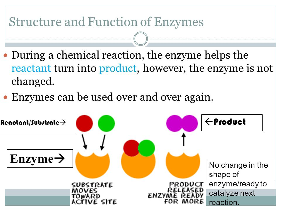Structure and Function of Enzymes During a chemical reaction, the enzyme helps the reactant turn into product, however, the enzyme is not changed. Enz