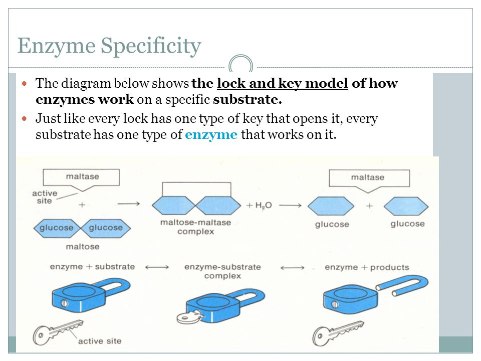 Enzyme Specificity The diagram below shows the lock and key model of how enzymes work on a specific substrate. Just like every lock has one type of ke