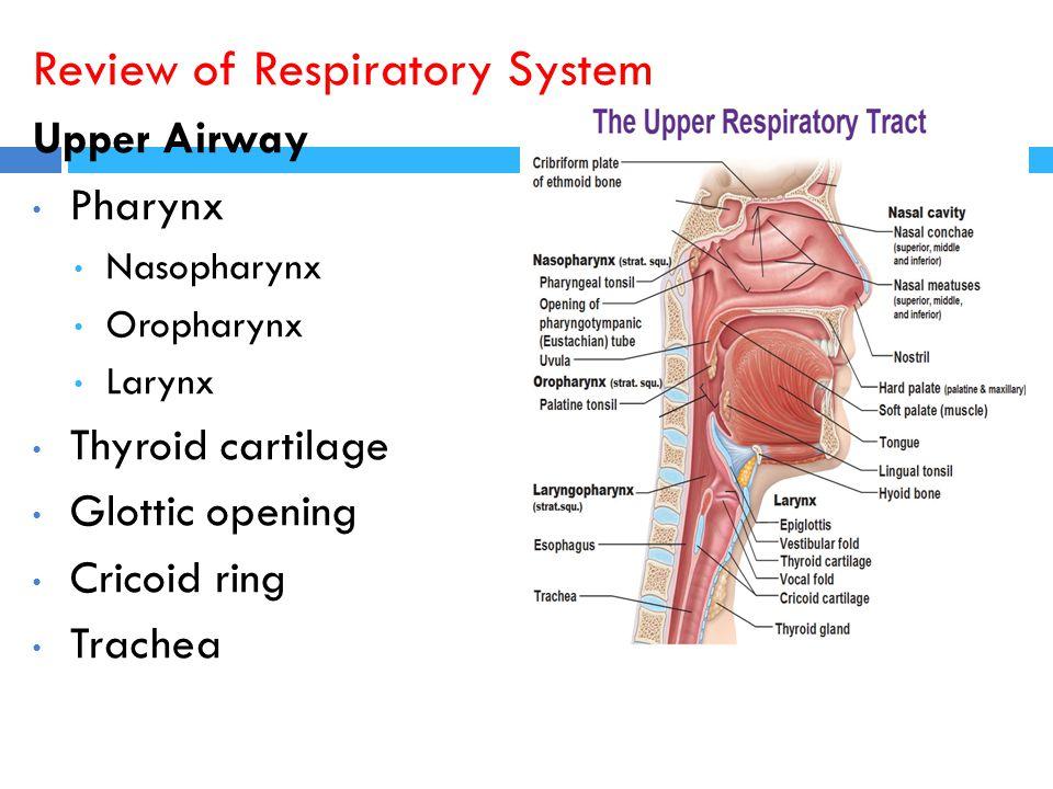 Review of Respiratory System Upper Airway Pharynx Nasopharynx Oropharynx Larynx Thyroid cartilage Glottic opening Cricoid ring Trachea