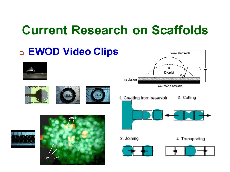 Current Research on Scaffolds  EWOD Video Clips Live Dead
