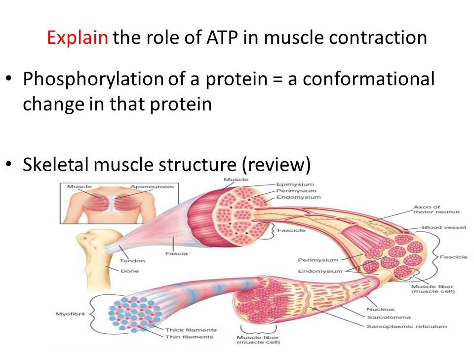 Actin, Myosin, Tropomyosin, Troponin, Ca++, ADP, & ATP http://www.youtube.com/watch?v=hqynCsign8Ehttp://www.youtube.com/watch?v=hqynCsign8E (SLIDING FILAMENT THEORY)