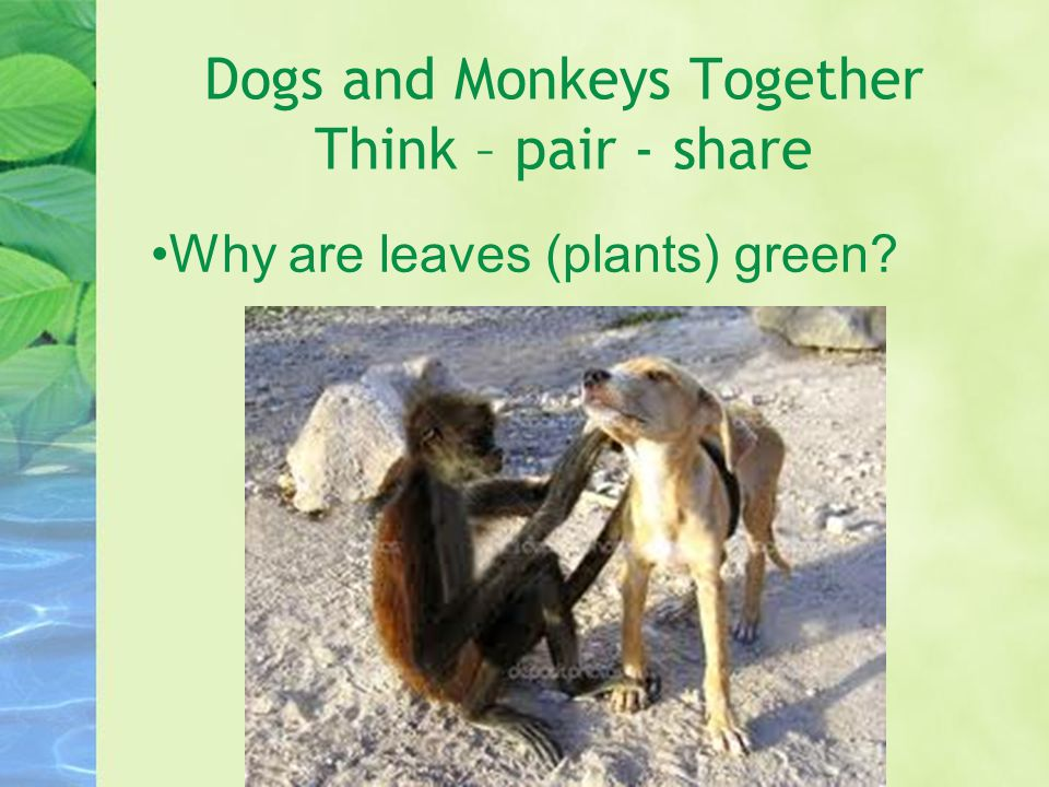Dogs and Monkeys Together Think – pair - share Why are leaves (plants) green?