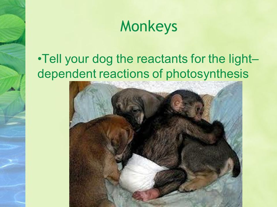 Monkeys Tell your dog the reactants for the light– dependent reactions of photosynthesis