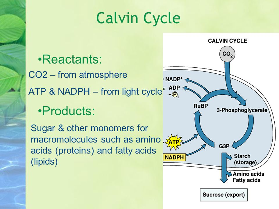Calvin Cycle Reactants: Products: CO2 – from atmosphere ATP & NADPH – from light cycle Sugar & other monomers for macromolecules such as amino acids (