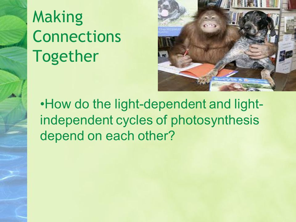 Making Connections Together How do the light-dependent and light- independent cycles of photosynthesis depend on each other?