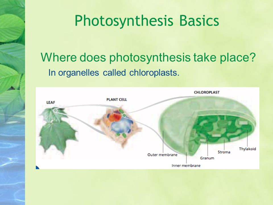 Photosynthesis Basics Where does photosynthesis take place? In organelles called chloroplasts.