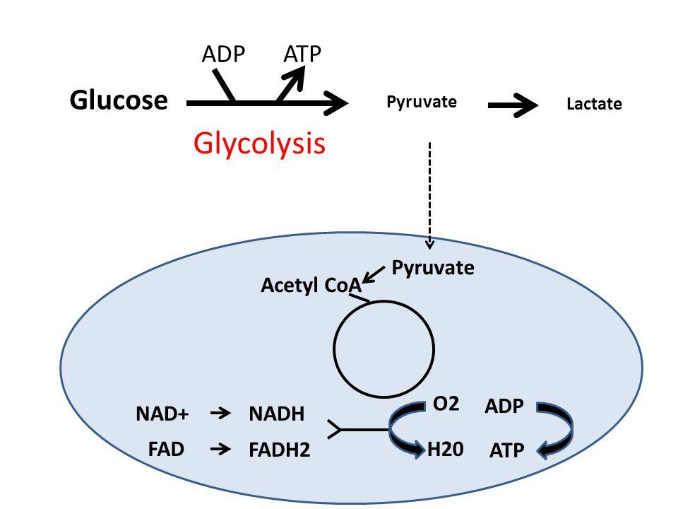 Glucose Pyruvate Lactate Glycolysis ATP ADP Pyruvate Acetyl CoA NAD+NADH FAD FADH2 O2 H20 ADP ATP