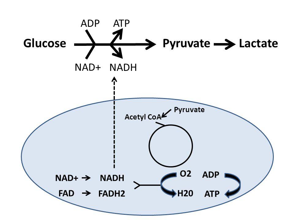 GlucosePyruvate Lactate ATP ADP Pyruvate Acetyl CoA NAD+NADH FAD FADH2 O2 H20 ADP ATP NAD+ NADH