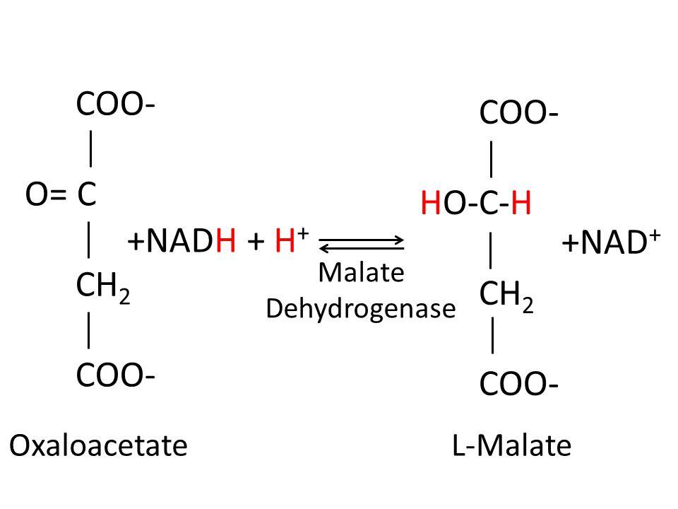 COO- O= C CH 2 COO- HO-C-H CH 2 COO- +NADH + H + +NAD + L-MalateOxaloacetate Malate Dehydrogenase