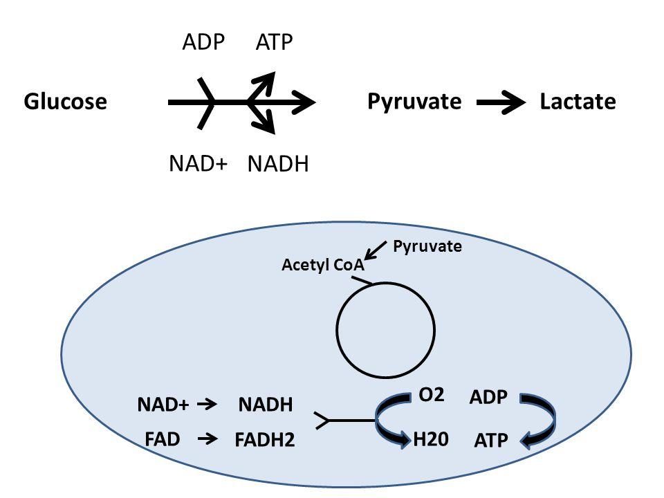 Glucose Pyruvate Lactate ATP ADP Pyruvate Acetyl CoA NAD+NADH FAD FADH2 O2 H20 ADP ATP NAD+ NADH