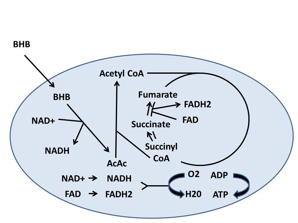 BHB Acetyl CoA NAD+NADH FAD FADH2 O2 H20 ADP ATP BHB AcAc Succinyl CoA Succinate Fumarate FAD FADH2 NAD+ NADH