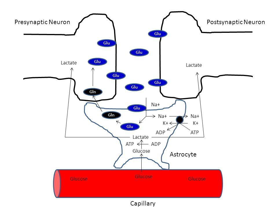 Glu Na+ K+ ATPADP Glucose Lactate ATP Gln ADP Lactate Capillary Presynaptic NeuronPostsynaptic Neuron Astrocyte Glucose