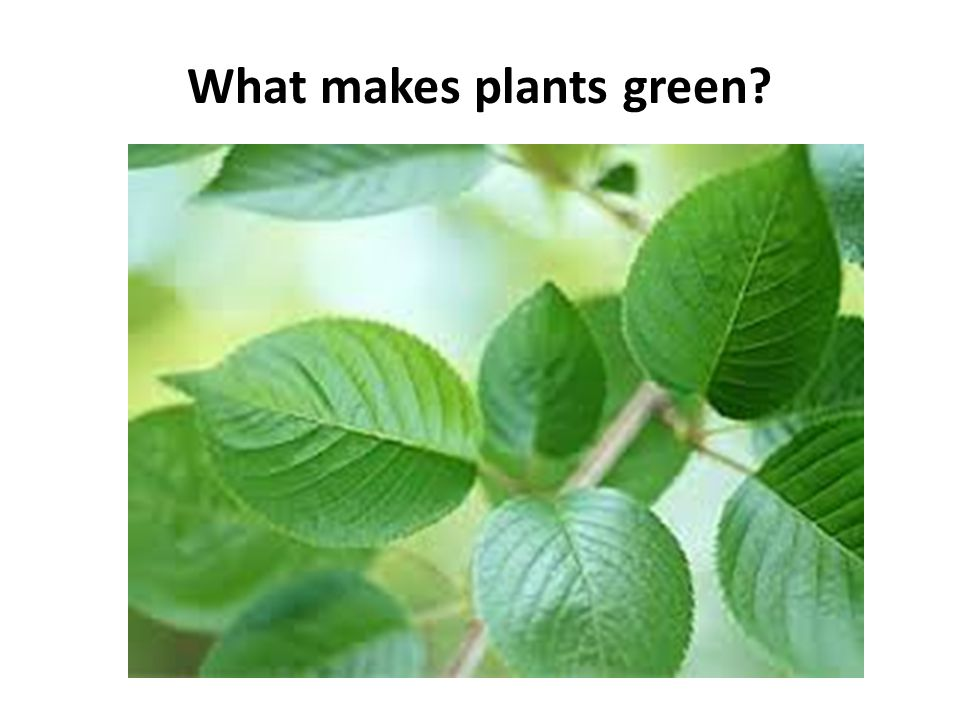What makes plants green?