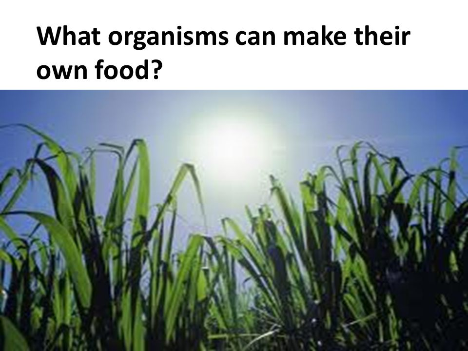 What organisms can make their own food?