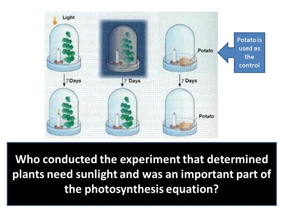 Who conducted the experiment that determined plants need sunlight and was an important part of the photosynthesis equation? Potato is used as the cont