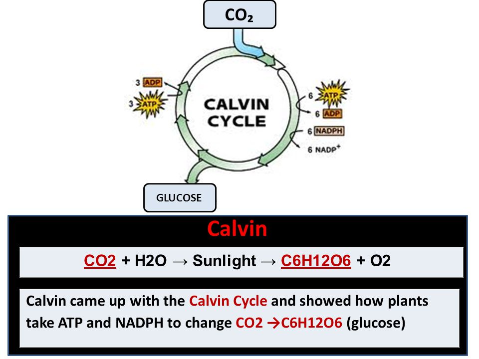 Calvin Calvin came up with the Calvin Cycle and showed how plants take ATP and NADPH to change CO2 →C6H12O6 (glucose) CO2 + H2O → Sunlight → C6H12O6 +