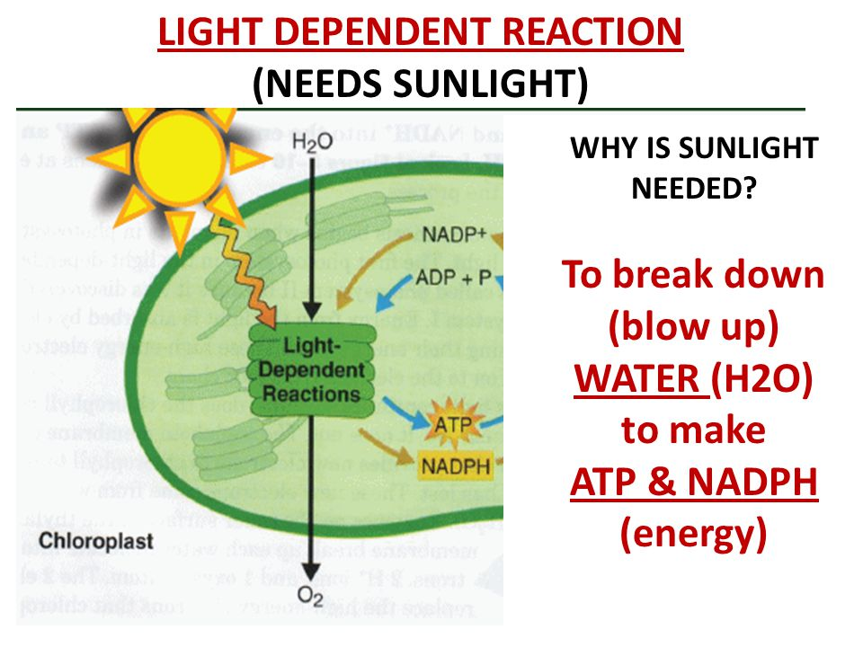 LIGHT DEPENDENT REACTION (NEEDS SUNLIGHT) WHY IS SUNLIGHT NEEDED? To break down (blow up) WATER (H2O) to make ATP & NADPH (energy)