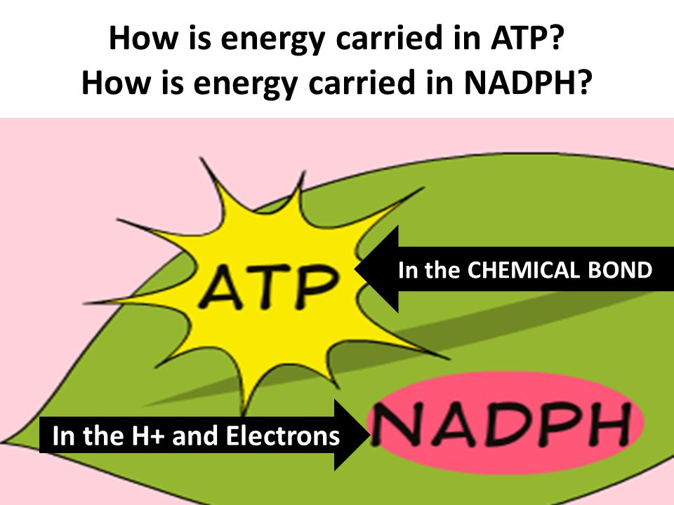 How is energy carried in ATP? How is energy carried in NADPH? In the CHEMICAL BOND In the H+ and Electrons