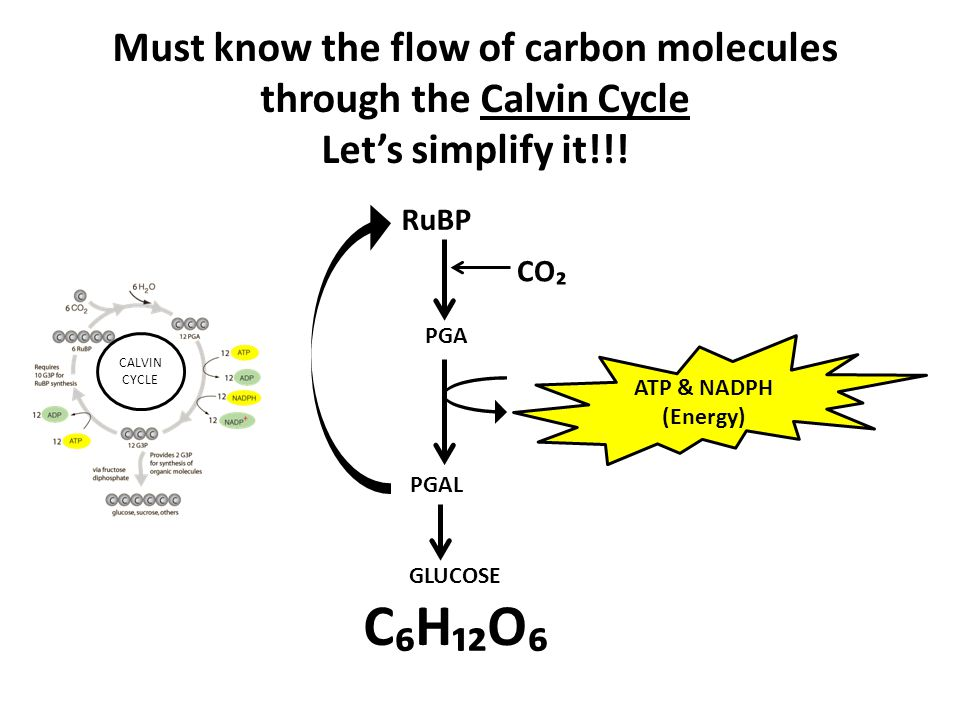 PGAL RuBP PGA GLUCOSE C₆H₁₂O₆ CO₂ Must know the flow of carbon molecules through the Calvin Cycle Let's simplify it!!! ATP & NADPH (Energy) CALVIN CYC