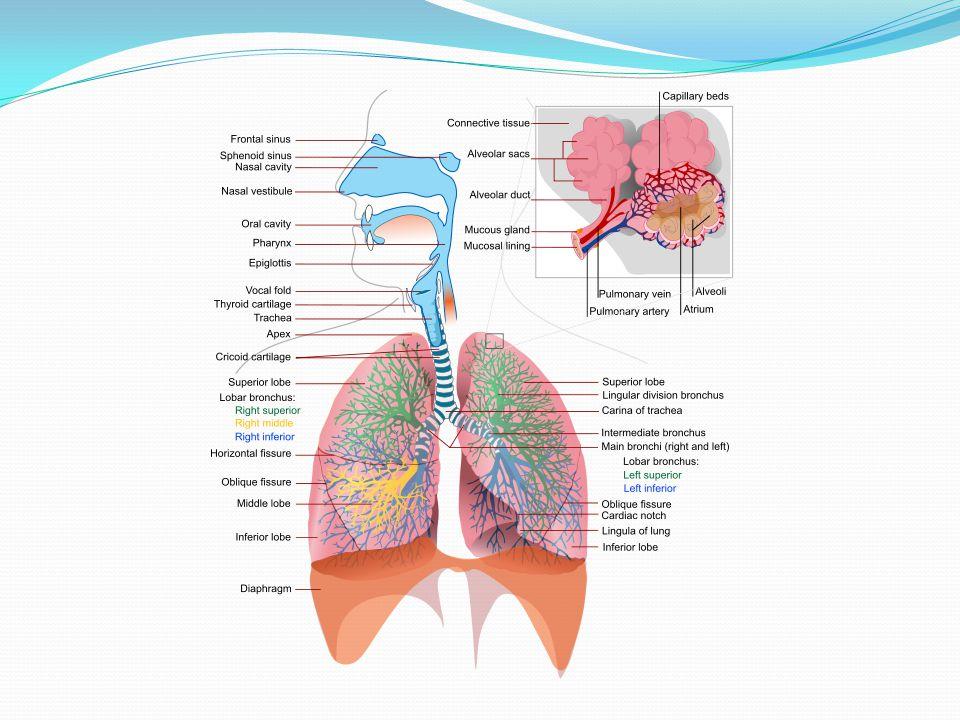 Organs Involved Upper Respiratory Tract 1. Nose 2. Nasopharynx 3. Oropharynx 4. Laryngopharynx 5. Larynx Lower Repsiratory Tract 1. Trachea 2. Bronchi