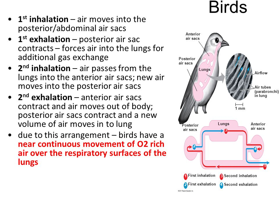1 st inhalation – air moves into the posterior/abdominal air sacs 1 st exhalation – posterior air sac contracts – forces air into the lungs for additi