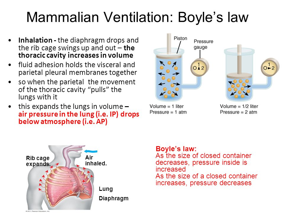 Mammalian Ventilation: Boyle's law Inhalation - the diaphragm drops and the rib cage swings up and out – the thoracic cavity increases in volume fluid
