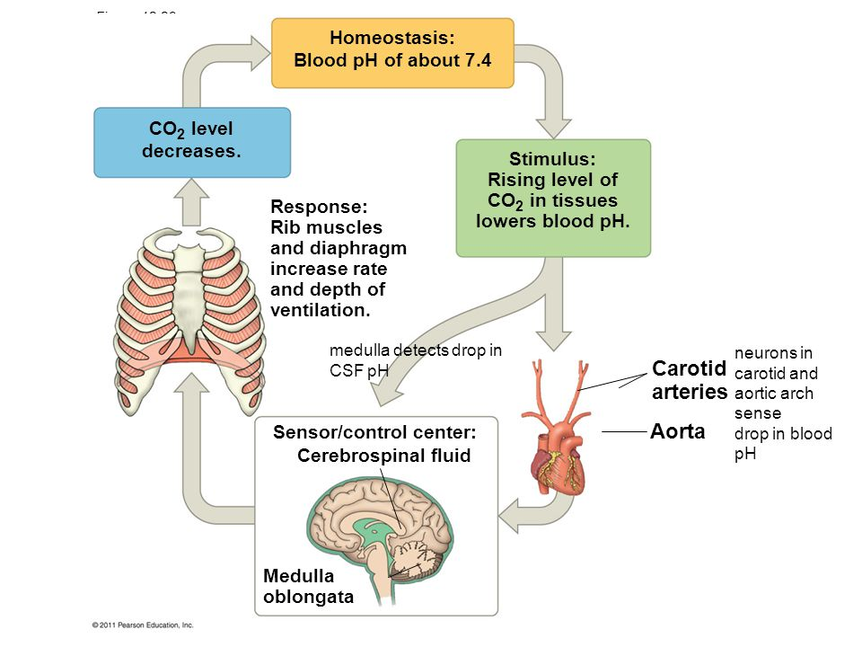 Figure 42.29 Homeostasis: Blood pH of about 7.4 CO 2 level decreases. Stimulus: Rising level of CO 2 in tissues lowers blood pH. Response: Rib muscles