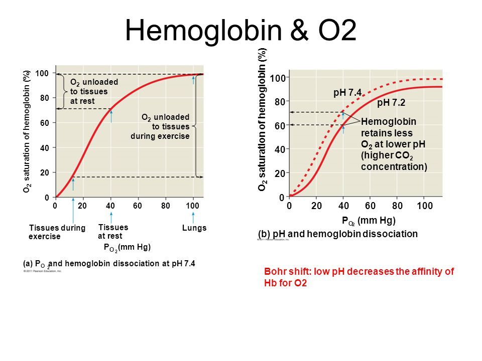 Hemoglobin & O2 2 (a) P O and hemoglobin dissociation at pH 7.4 Tissues during exercise Tissues at rest Lungs P O (mm Hg) 2 020406080100 0 20 40 60 80