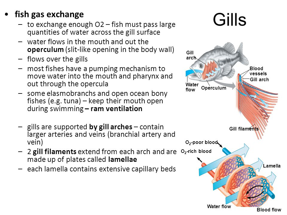 fish gas exchange –to exchange enough O2 – fish must pass large quantities of water across the gill surface –water flows in the mouth and out the oper
