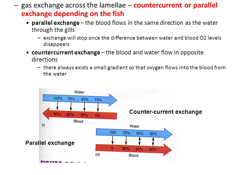 –gas exchange across the lamellae – countercurrent or parallel exchange depending on the fish parallel exchange – the blood flows in the same directio