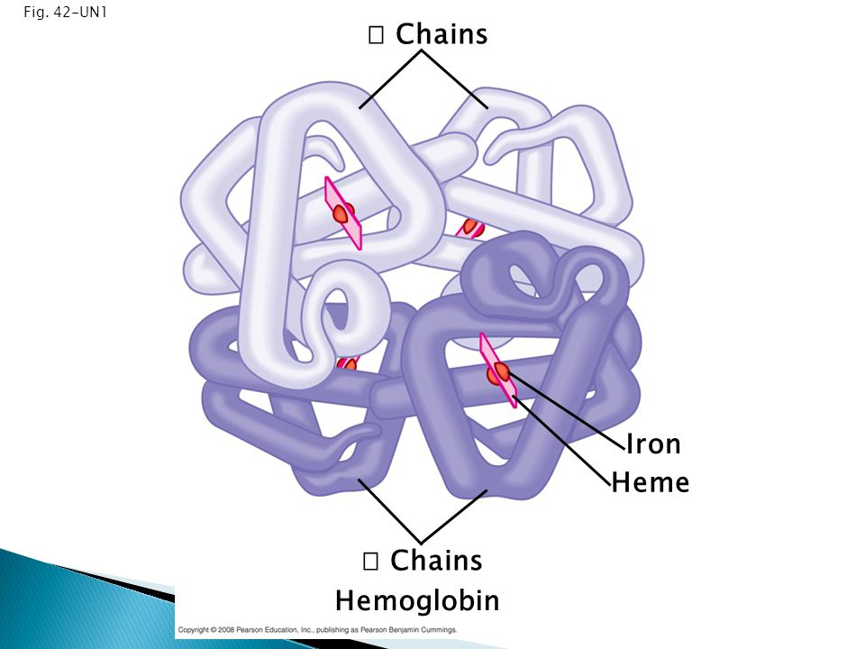 Fig. 42-UN1  Chains Iron Heme  Chains Hemoglobin