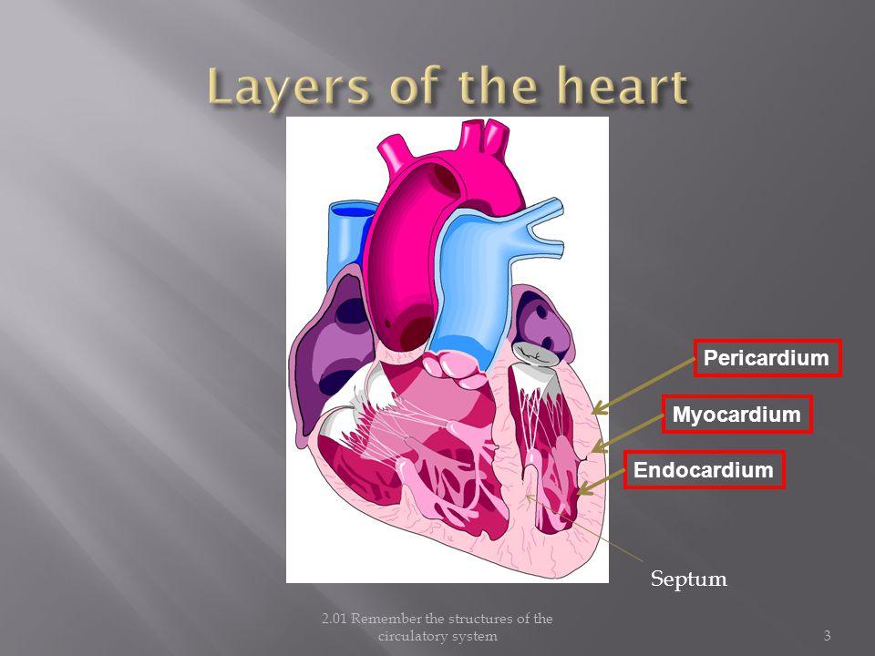 2.01 Remember the structures of the circulatory system3 Myocardium Endocardium Pericardium Septum